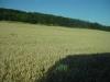 driving-through-wheat